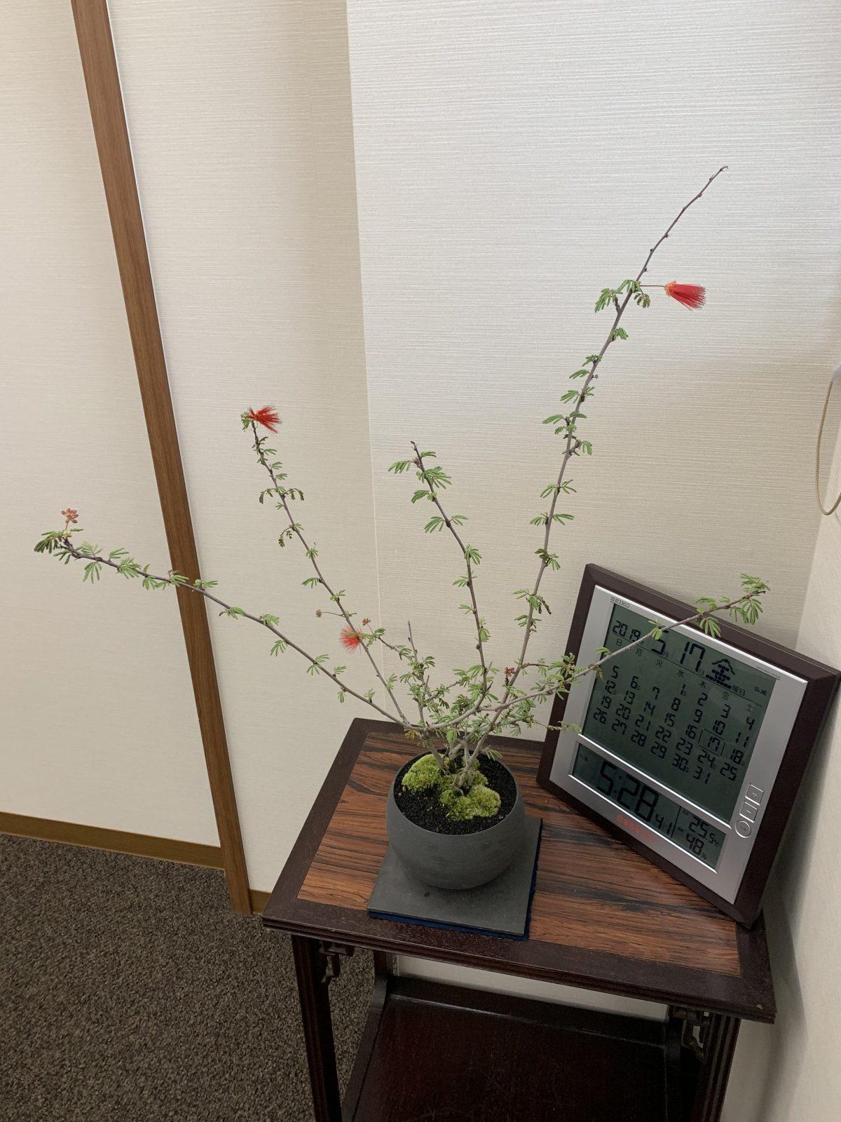 ヒネムの花が咲きました❀